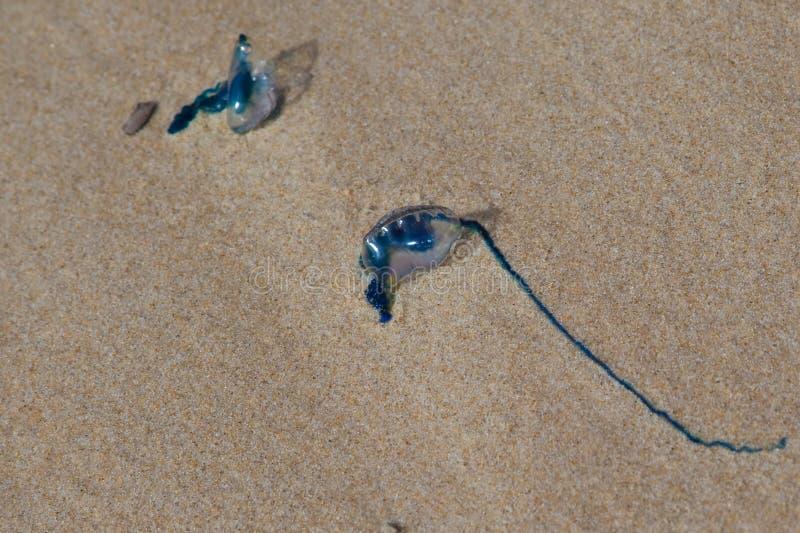 Medusas del Bluebottle imágenes de archivo libres de regalías