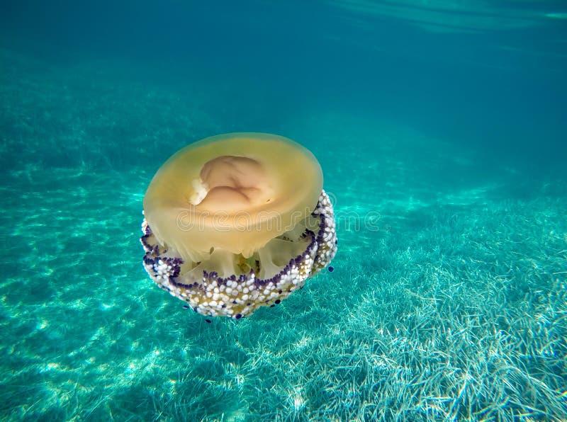Medusas del huevo frito fotos de archivo