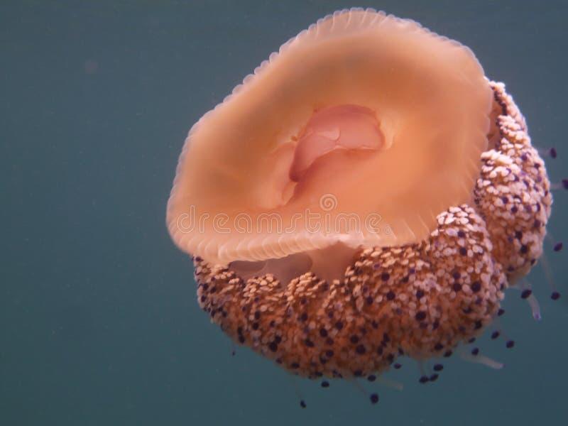Medusas del huevo frito imágenes de archivo libres de regalías