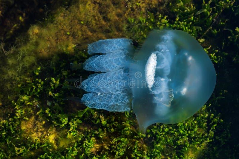 Medusas del mar fotografía de archivo