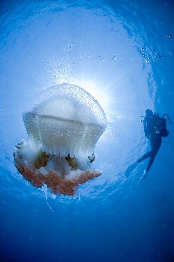 Medusas e um mergulhador foto de stock