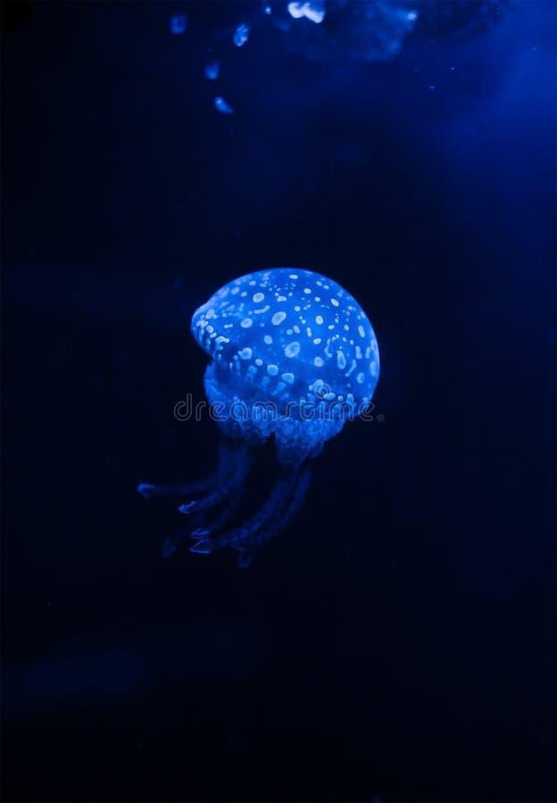 Medusas en el agua oscura con las luces imagenes de archivo
