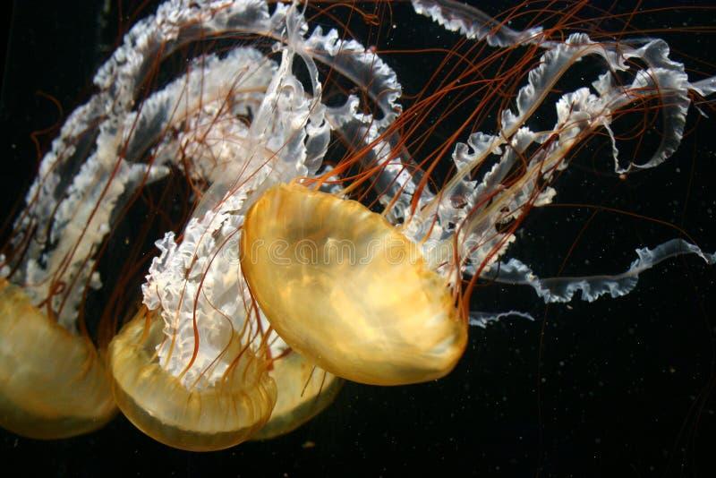 Medusas flotantes fotografía de archivo