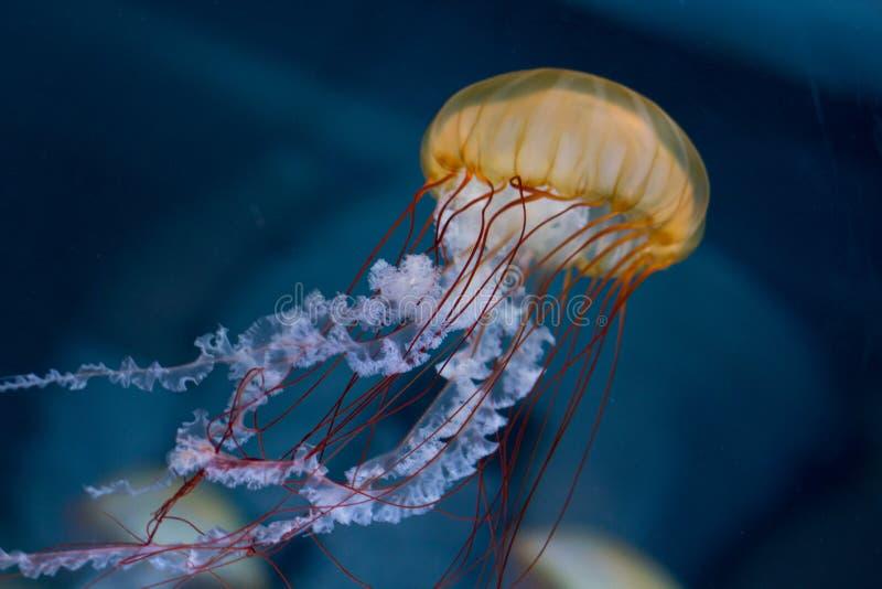 Medusas listradas cor-de-rosa no fundo preto - imagem de stock royalty free