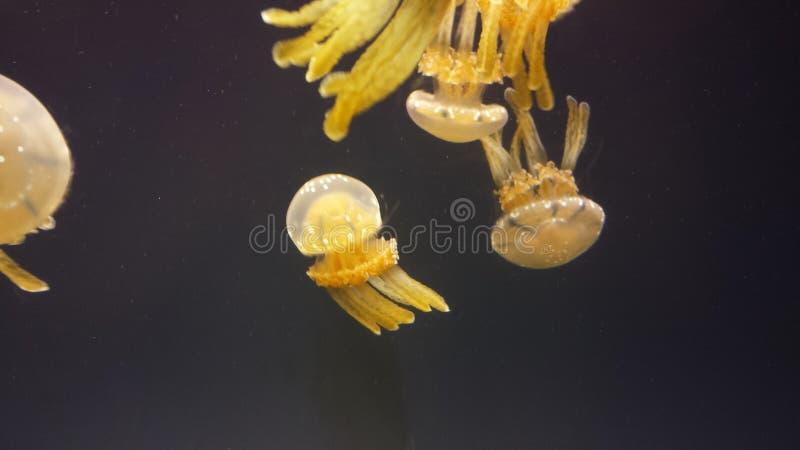 Medusas mágicas imagens de stock royalty free
