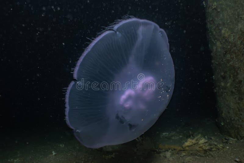 Medusas no Mar Vermelho ilustração royalty free