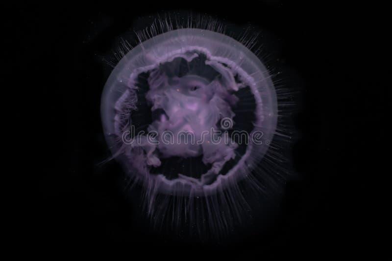 Medusas no Mar Vermelho ilustração do vetor