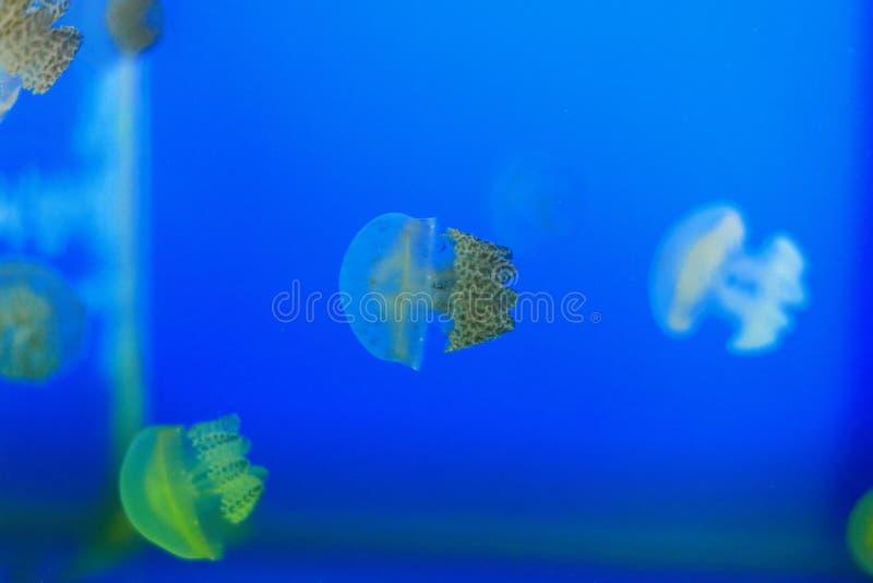 Medusas o jaleas imagen de archivo libre de regalías
