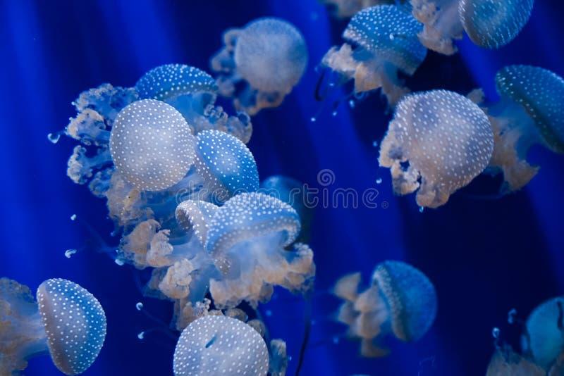 Medusas punteadas en agua azul foto de archivo libre de regalías