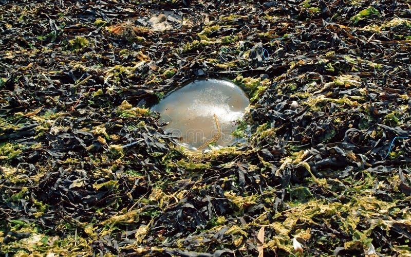 Medusas transparentes fotografía de archivo libre de regalías