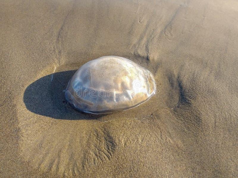 medusas varadas en la playa a orillas de Jesolo fondo imagen de archivo libre de regalías