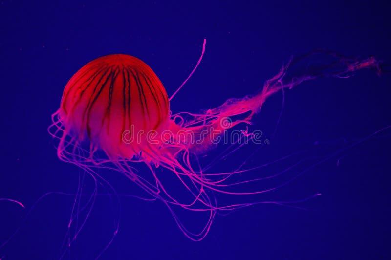Meduse immagine stock
