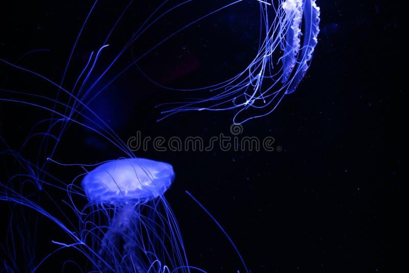 Meduse blu d'ardore immagini stock