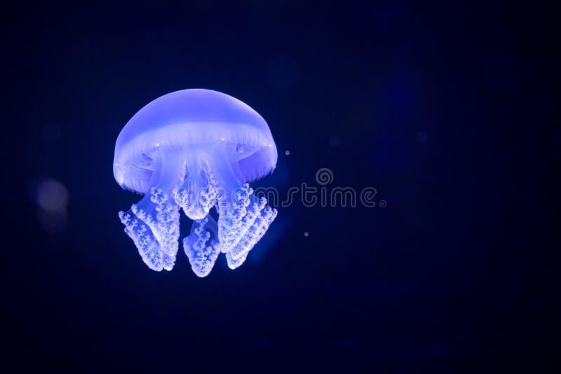 Meduse che galleggiano in serbatoio di acqua all'acquario immagini stock libere da diritti