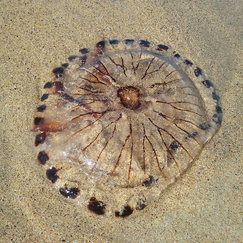 Meduse che riposano su una spiaggia fotografia stock