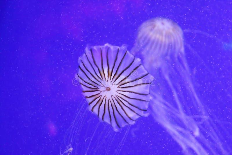 Meduse del melanaster della chrysaora fotografia stock