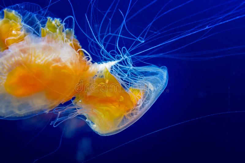 Meduse dell'uovo fritto contro acqua blu profonda fotografia stock