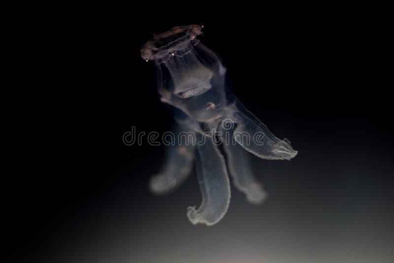 Meduse della luna fotografie stock libere da diritti