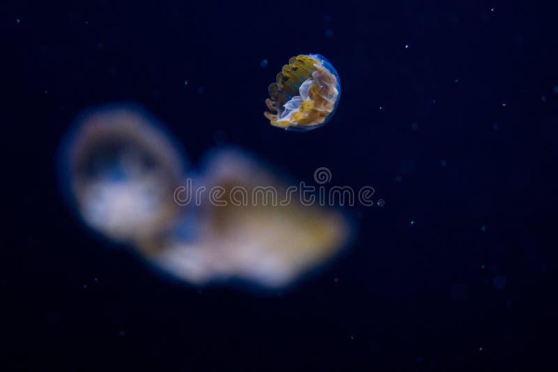 Meduse minuscole in un carro armato di pesce fotografia stock libera da diritti