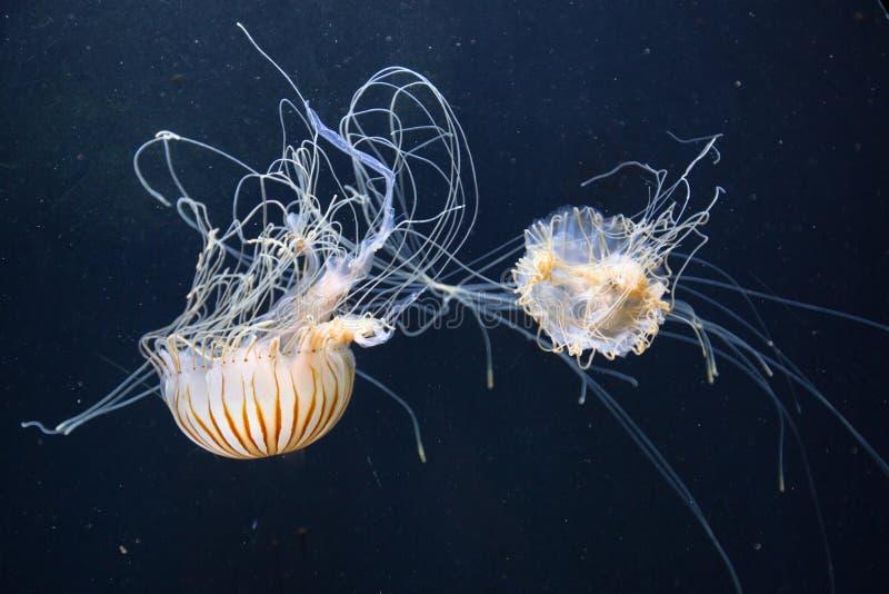 Meduse (pulmo di Rhizostoma) che galleggiano in acqua blu profonda fotografie stock