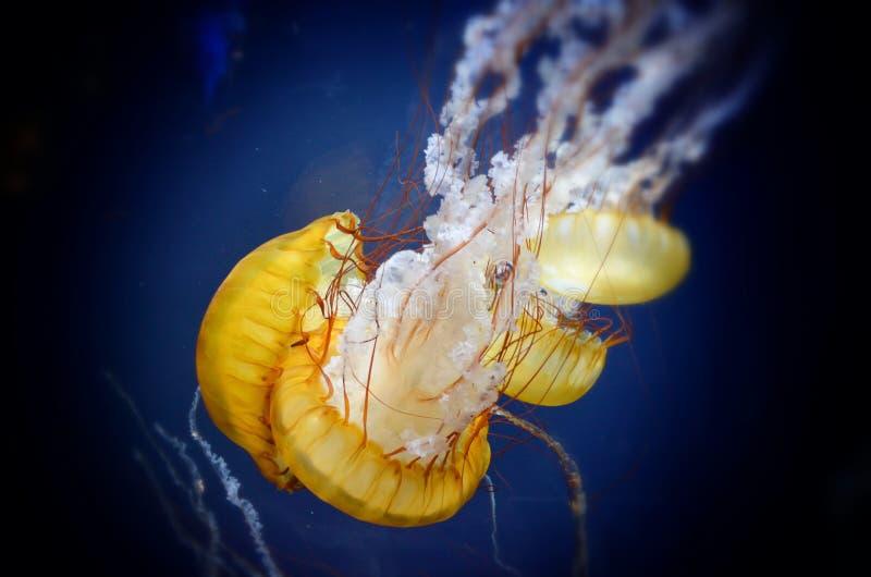 Meduse in un acquario fotografia stock libera da diritti