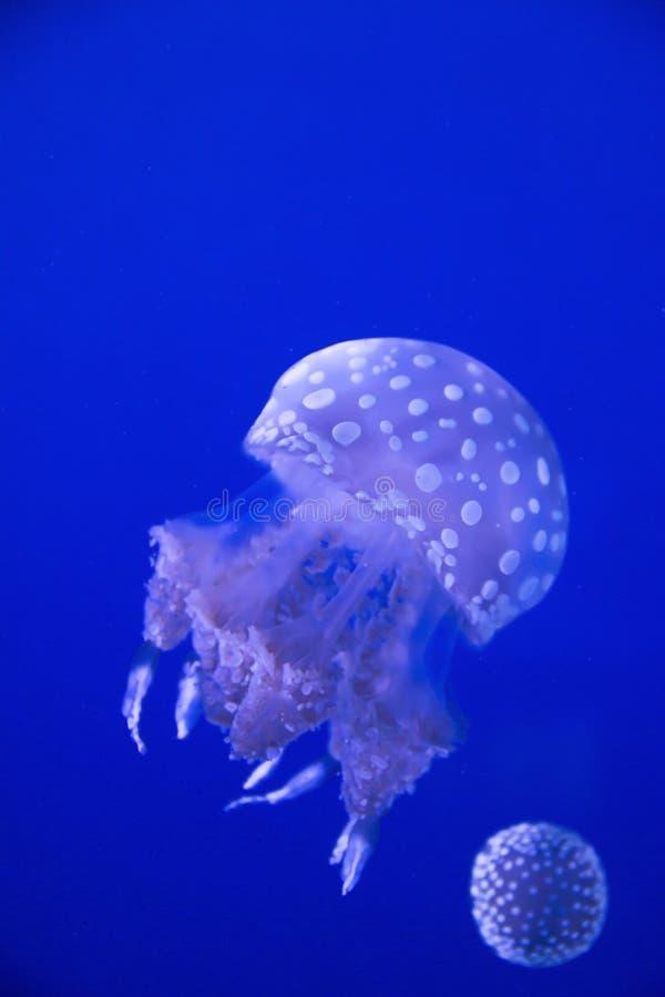 Meduse variopinte che galleggiano all'acquario del Ripley a Toronto Ontario Canada immagini stock libere da diritti