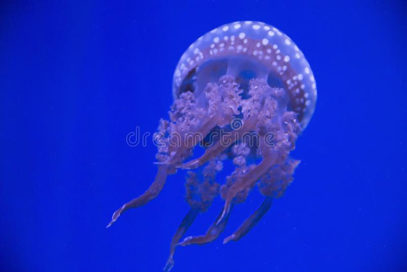 Meduse variopinte che galleggiano all'acquario del Ripley a Toronto Ontario Canada immagine stock