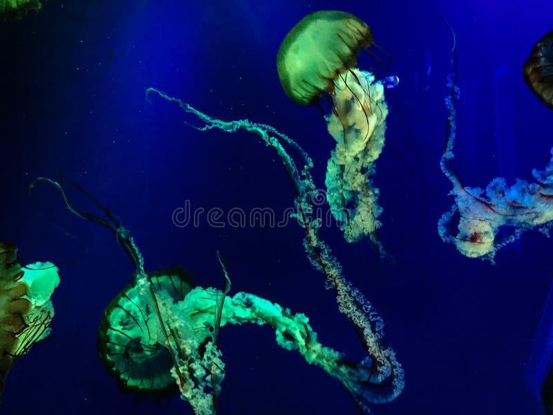 Meduse verdi d'ardore in acqua blu profonda immagine stock