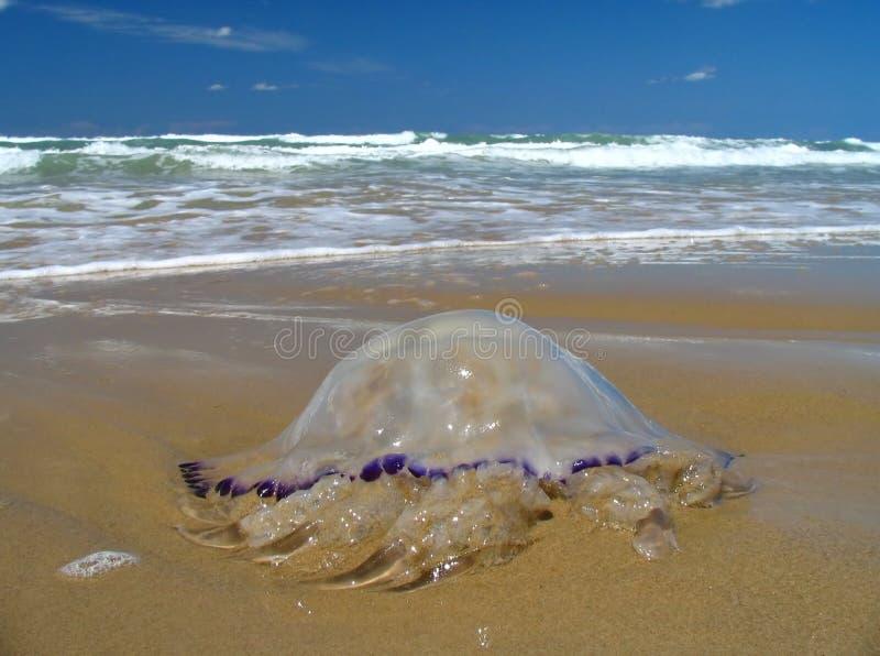 meduza. fotografia stock