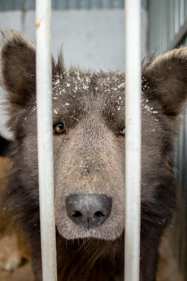 Medvebaka 看起来熊的俄国狗! 免版税库存图片