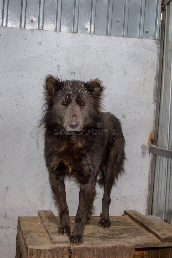 Medvebaka 看起来熊的俄国狗! 免版税图库摄影