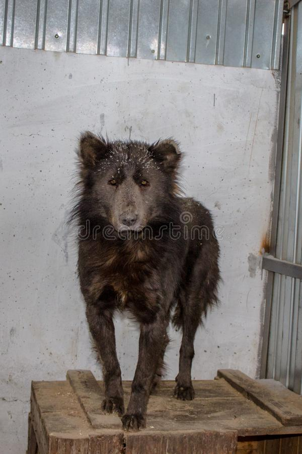 Medvebaka. The Russian dog that looks like a BEAR!. In Russia they found a dog with a bear`s head. now the animal is in the shelter. the dog is very like a bear royalty free stock photography