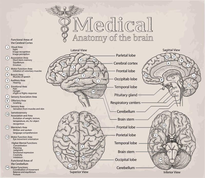 Medyczna anatomia ludzki mózg Medycyna, Wektorowa ilustracja po royalty ilustracja