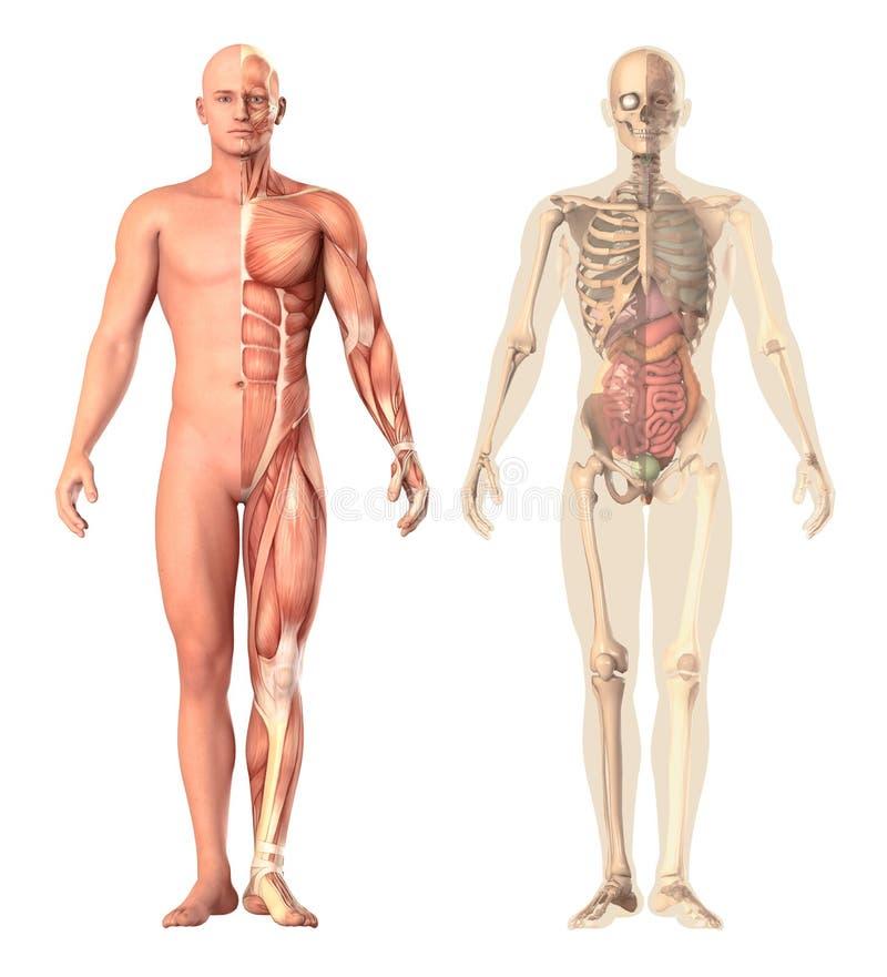Medyczna ilustracja ludzka anatomii przezroczystość, widok Kościec, mięśnie, wewnętrzni organy pokazuje oddzielne części royalty ilustracja