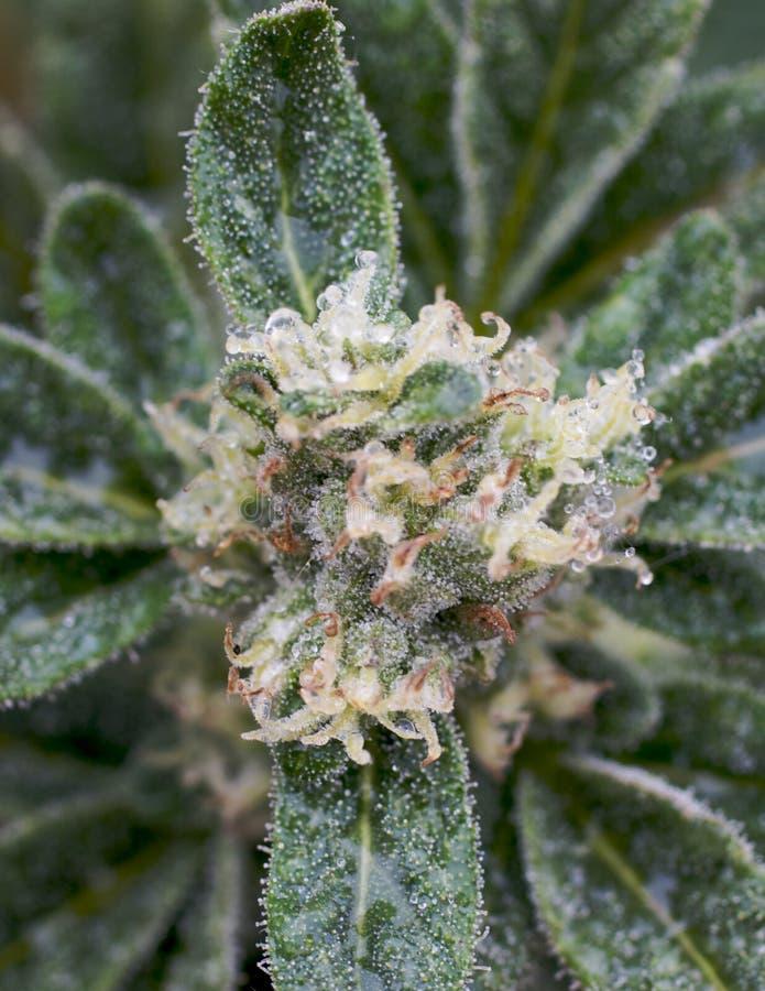 medyczna kwiat marihuana zdjęcia stock