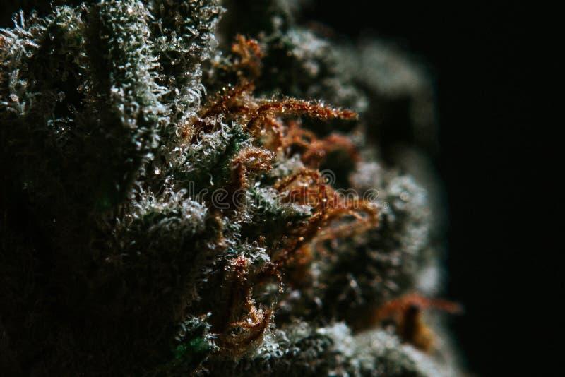 Medyczna marihuana, marihuana Indica, Sativa, Trichomes, THC, CBD, nowotworu lekarstwo, świrzepa, kwiat, konopie, gram, pączek zdjęcia royalty free