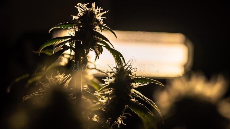 Medyczna marihuana pączkuje w górę Grownim marihuana salowa zdjęcia stock