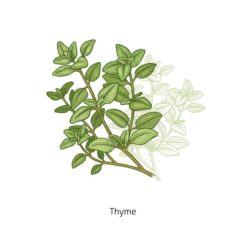 Medyczna rośliny macierzanka ilustracja wektor