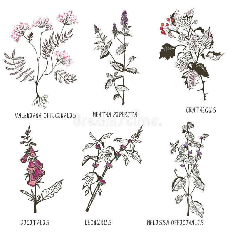 Medyczni ziele dla kierowych problemów i kardiologii ilustracja wektor