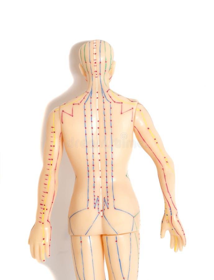 Medyczny akupunktura model istota ludzka na białym tle zdjęcia stock