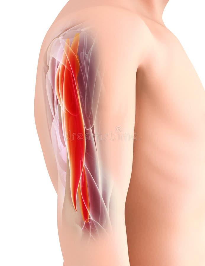Medyczny i Naukowy Graficzny tło, Triceps Mięśniowy 3d ja ilustracja wektor