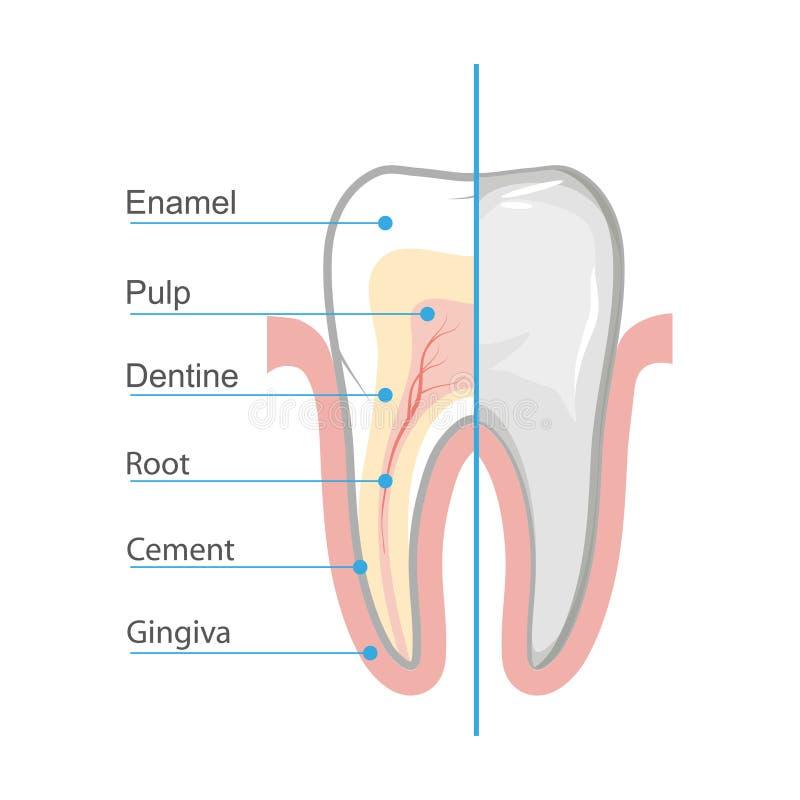 Medyczny plakatowy ząb ilustracja wektor