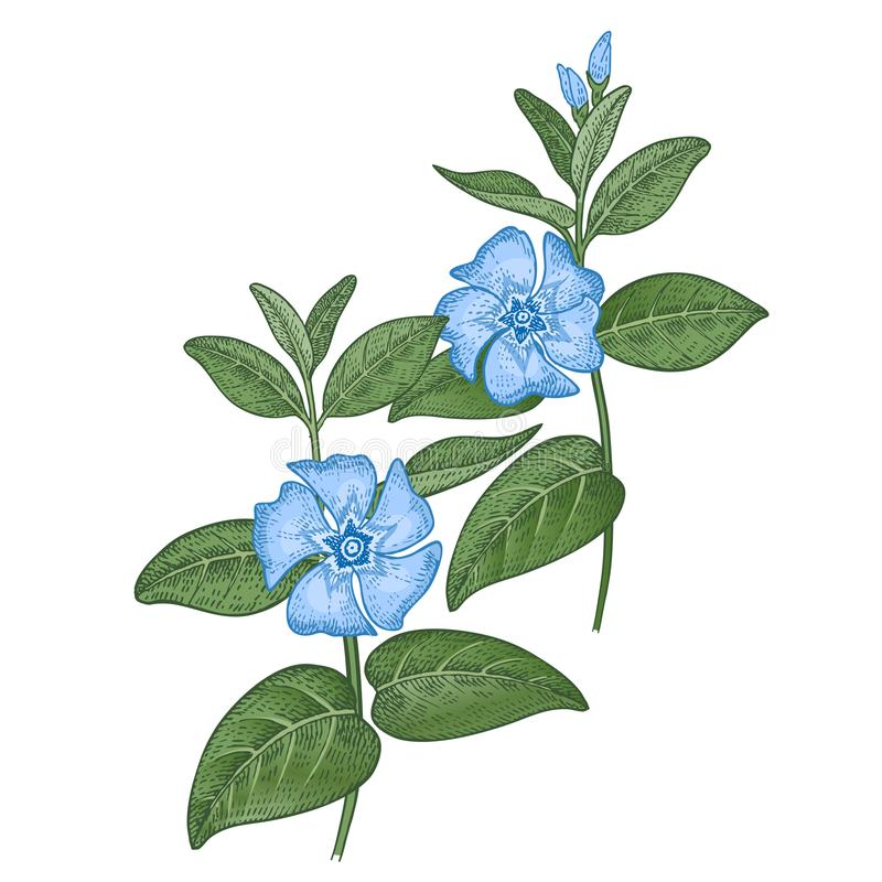 Medyczny roślina barwinek Koloru nakre?lenie royalty ilustracja