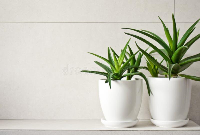 Medyczny zielarski aloes Vera w garnkach na łazienki półce obrazy stock