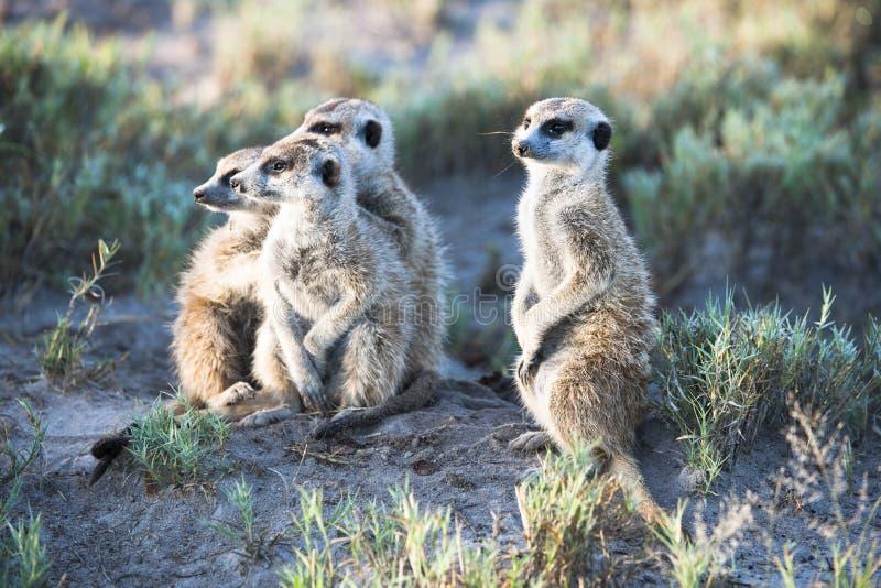 Meerkats стоковая фотография rf