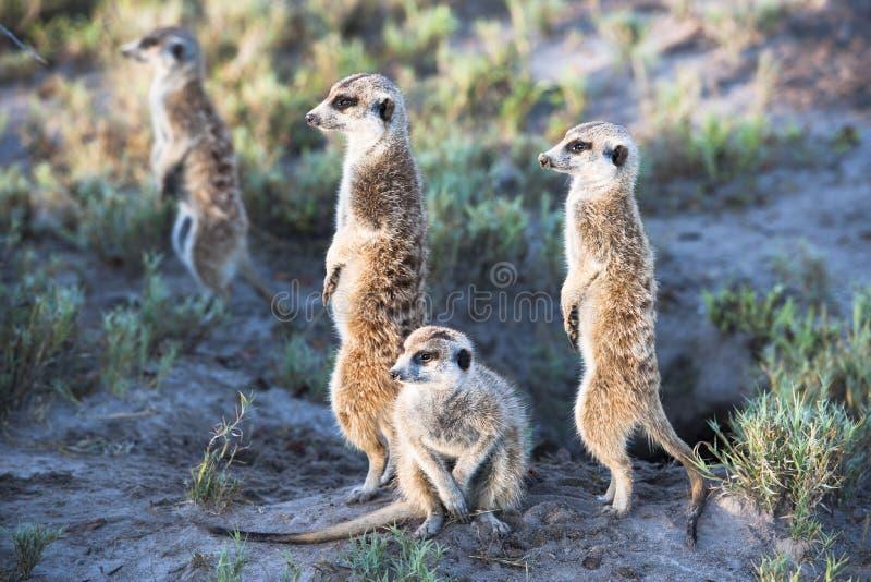 Meerkats foto de archivo