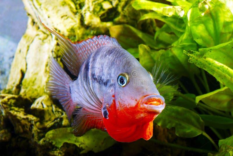 Meeki di cichlasoma dei pesci fotografie stock libere da diritti