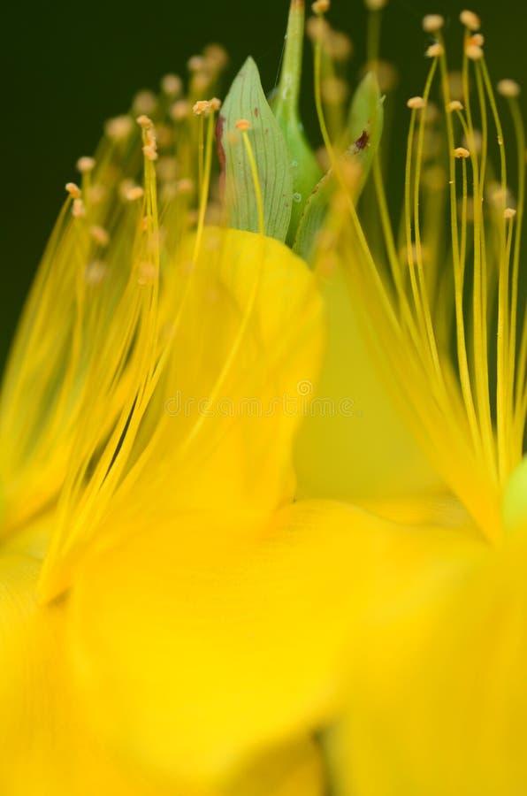 Meeldraad van een gele bloem royalty-vrije stock foto's