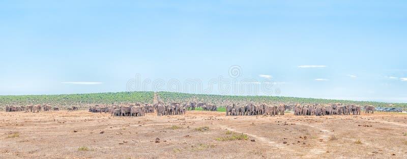Meer dan 200 olifanten die wachten te drinken stock afbeelding