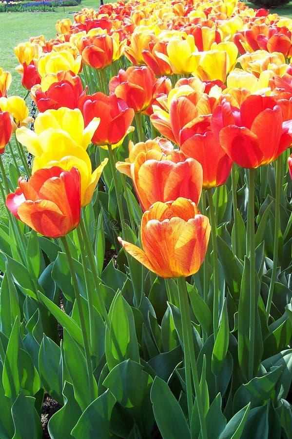 Download Meer der Tulpen stockfoto. Bild von fields, tulpen, gelb - 28996